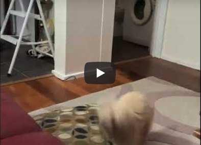 Winston the Poodle running in circles